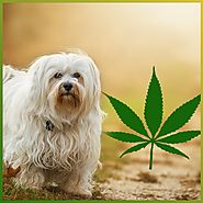CBD for pets: Does it work? – CBD 555