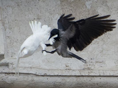 Pope's doves of peace attacked by angry birds