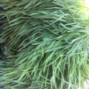Discussing the powers of wheat grass with Derek Hannon of Greenfield Farm - by @rogeroverall