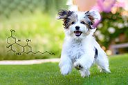 Do You Know the Benefits of CBD Oil For Dogs?