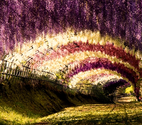 The Wisteria Flower Tunnel in Japan