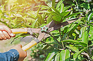 How to Improve Fruit Production with Tree Pruning Ringwood