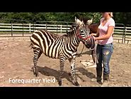 Zena the Zebra during her first 3 days training