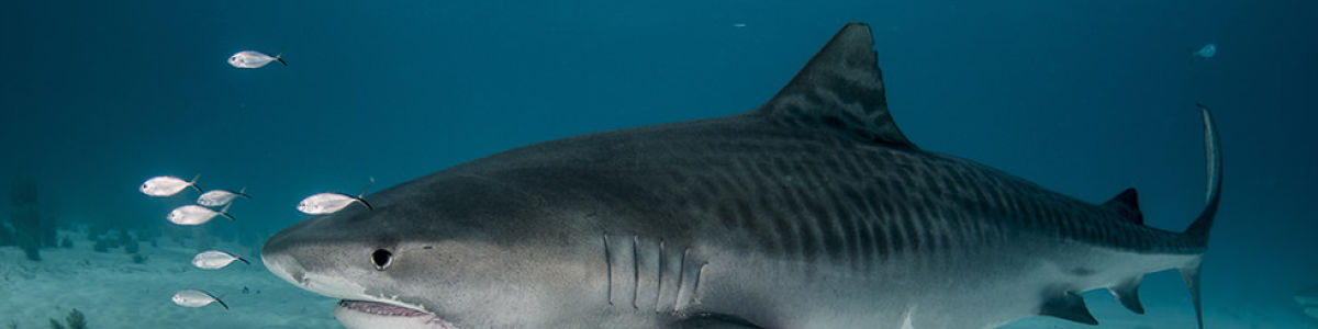 Headline for List of Sharks in the Maldives – Fascinating Predators