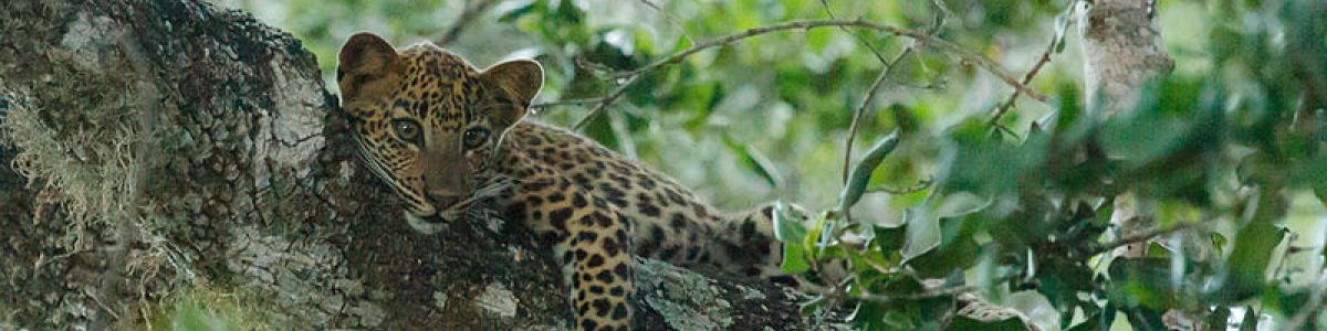 Headline for 8 Tips to spot a Leopard in Yala - Keep your eyes open!
