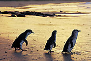 Phillip Island Penguin Tours from Melbourne | Yarra Tours