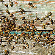 bee-removal-infestation-in-home-walls-las-vegas-nv