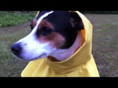 Little Dog In A Yellow Raincoat!!