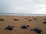 Kosgoda Sea Turtle Sanctuary
