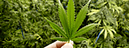 How Effective is Recreational Marijuana for Treating Drug Addiction? - Medicare bulletin