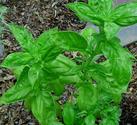 How to Grow and Use Basil
