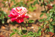 Government Rose Garden, Ooty - Wikipedia, the free encyclopedia