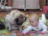 pug and baby fight over cookie