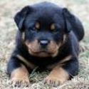 German Rottweiler puppies for sale