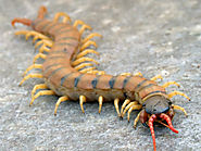 HOW TO GET RID OF HOUSE CENTIPEDES AND DO YOU REALLY NEED TO DO IT? - Pest Control