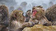 Macaques' one-night stands