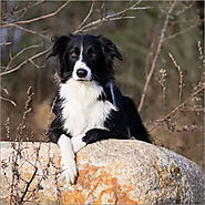 Collie / Spike
