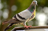 Why should you pigeon-proof your roof?