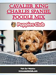 Cavalier King Charles Spanie l Poodle Mix | puppiesclub.com