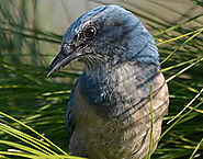 Florida scrub-jay Permitting and Relocation