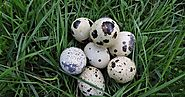15 Amazing Quail Eggs Benefits (For Hair And Skin) - Vedic Health Secrets