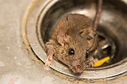 Some Effective Ways to Get Rid of Rats