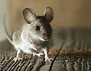 Approaches To Get Rid Of Rodents