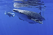 Cancun - The Best Place for watching Whale Sharks