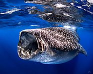 It's Time to Snorkel with Whale Sharks from La Paz