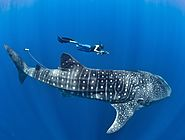 Time to go for a whale shark tour in Cancun!