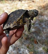 Gopher Tortoise Permitting