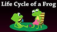 Life Cycle of a Frog | #aumsum