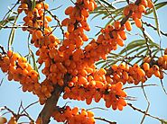 Benefits Of Sea Buckthorn | Uses & Benefits of Sea Buckthorn 2019