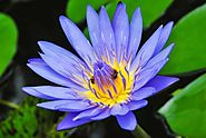 Buy Blue Lotus Floral Absolute Oil, Pure Absolute Wholesale Supplier in India -