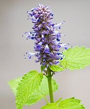 What is Natural Hyssop Hydrosol and how is it a boon to the human health?