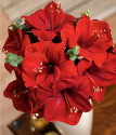 Amaryllis | Amaryllis Plant By Post | Bunches.co.uk