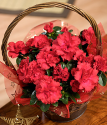 Christmas Azalea Plant | Send Christmas Azalea Plants | Bunches.co.uk