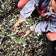 Where Do Olives Come From? Bertolli's Approach to Selecting Quality Olive Oil