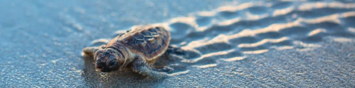 Headline for Things to know about Turtle Watching in Rekawa Beach - A Basic Guide to this Marine Creature