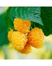 Raspberry Plants Online | Raintree Nursery
