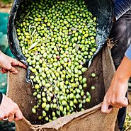 Early Picking and Fast Pressing Means High-Quality Olive Oil