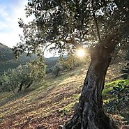 How to Make Olive Oil: Better Olives, Better Olive Oil Quality