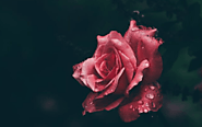 Red rose images free download