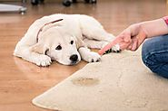 How to clean your carpet from pet urine stain and odor?