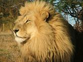 African Lions, African Wildlife, Animals in Africa