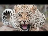 The Leopard Queen [Full Nature Wildlife Documentary]