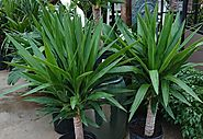 How to grow and care a yucca plant as an indoor plant – GetGoldoon