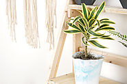 Why Dracaena Plants Are the Perfect Way to Perk Up an Office