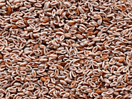Organic Psyllium Seeds Manufacturers, Suppliers & Exporters in India