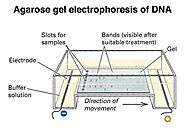 Gel Electrophoresis Diagram